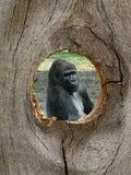 Gorilla-Zoo-Tier im Zaun-Knoten-Loch Lizenzfreie Stockfotos