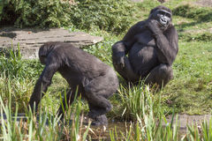 Gorilla zwei im Zoo Stockfotografie