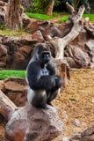 Gorillaaffe im Park an Teneriffa-Kanarienvogel Stockbild