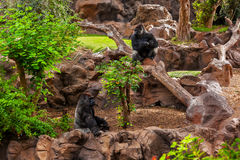 Gorillaaffe im Park an Teneriffa-Kanarienvogel Lizenzfreies Stockbild