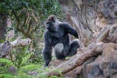 Gorillaaffe, Silverbackgorilla in der Natur Lizenzfreies Stockfoto