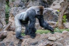 Gorillaaffe, Silverbackgorilla in der Natur Stockbilder