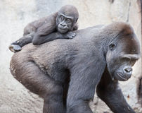 Gorillababy Stockbild
