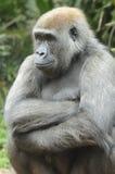 gorillabarn Arkivfoto