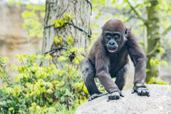 Gorillabarn i zoo Royaltyfria Foton
