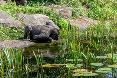 Gorilladrinkar från sjön arkivfoto