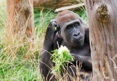 Gorillaessen Lizenzfreie Stockfotos