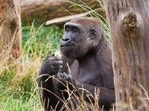 Gorillaessen Lizenzfreie Stockbilder