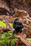 Gorillafallhammer im Park am Tenerife-Kanarienvogel Stockfoto