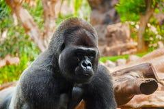 Gorillafallhammer im Park am Tenerife-Kanarienvogel Lizenzfreie Stockbilder
