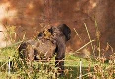 Gorillafamilj Royaltyfri Fotografi