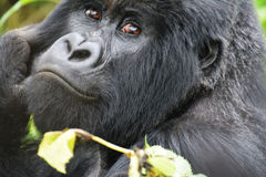 Gorillagesichtsabschluß oben Stockbild