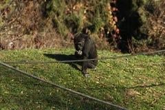 Gorillagorilla Royalty-vrije Stock Foto's