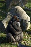 Gorillagorilla Stock Afbeelding