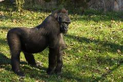 Gorillagorilla lizenzfreie stockfotografie