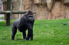 Gorillahaltung Stockbilder