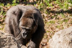 Gorillain bright sunlight. Wildlife photography of an Africa gorilla in the warm sunshine Royalty Free Stock Photo