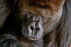 Gorillamann Porträt einer Nahaufnahme des männlichen Gorillas im Zoo, des gefährlichsten und größten Affen Lizenzfreies Stockbild