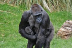 Gorillamodern behandla som ett barn Arkivbilder