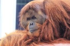Gorillamodern och behandla som ett barn Royaltyfria Bilder