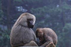 Gorillamodern och behandla som ett barn Arkivbilder