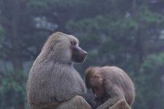 Gorillamodern och behandla som ett barn Royaltyfria Foton
