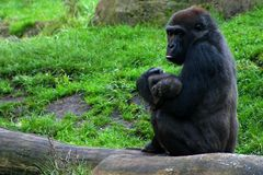 Gorillamum avec la chéri Photographie stock