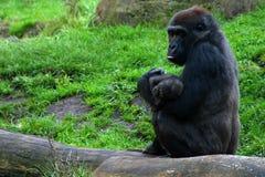 Gorillamum mit Schätzchen Stockfotografie