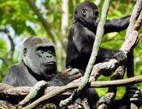Gorillamutter und -kind Lizenzfreie Stockbilder