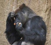 Gorillan äter morötter och rymmer materielet i hand royaltyfria foton