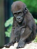 Gorillan behandla som ett barn Arkivfoton