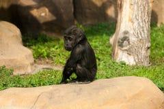 Gorillan behandla som ett barn sammanträde på en sten Royaltyfri Foto