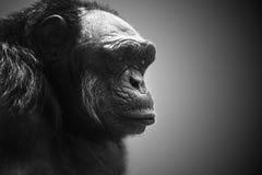 Gorillan dominerar den manliga ståenden Arkivbild