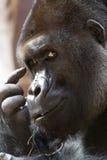 gorillan tänker royaltyfria foton