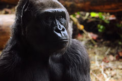 Gorillanahaufnahme Lizenzfreies Stockfoto