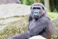 Gorillanahaufnahme Lizenzfreie Stockfotos