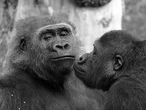 Gorillapaare mit einem Machomann stockfotos