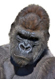 Gorillaportrait in der Vertikale Lizenzfreies Stockbild