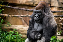 Gorillaprimat royaltyfri foto