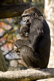 Gorillas Stockbild