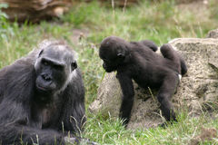 Gorillas. Gorilla mother with baby stock photo