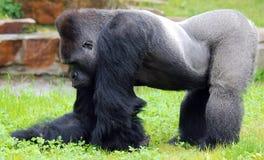 gorillas Imagem de Stock
