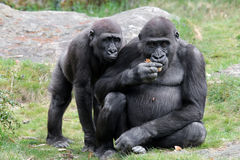 gorillas Stockfoto