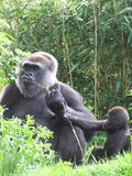 Gorillas stock photos