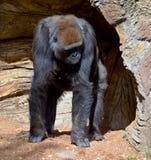 gorillas Stockbilder