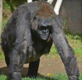 gorillas Lizenzfreie Stockfotografie