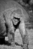 gorillas Lizenzfreie Stockfotos