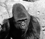 gorillas Stockfotografie
