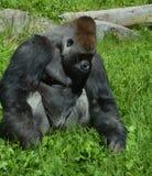 gorillas Immagini Stock Libere da Diritti