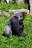 gorillas Fotografie Stock